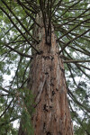 California Redwood Trunk with Numerous Branches