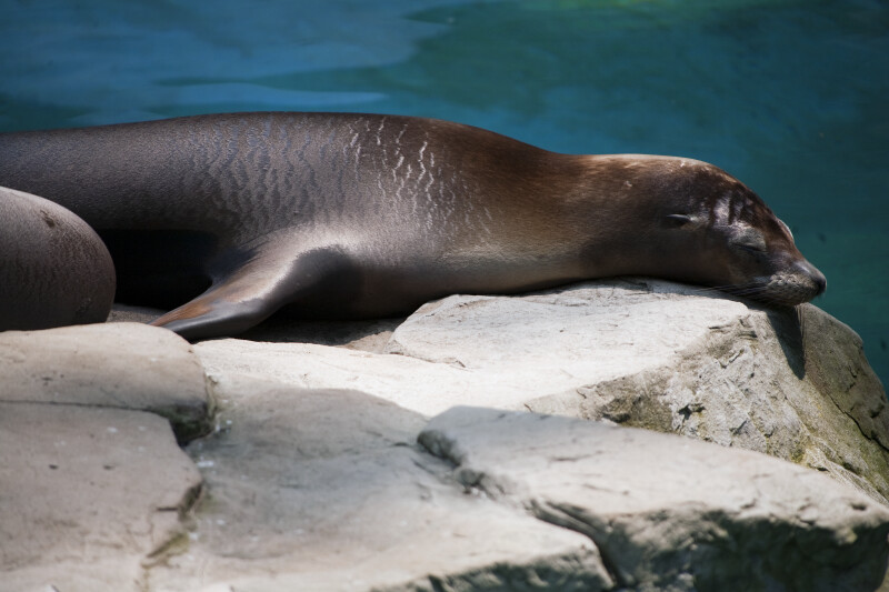 California Sea Lion Sunning Itself