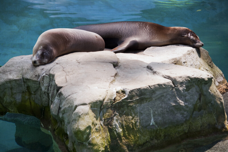 California Sea Lions Sleeping