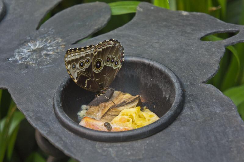 Caligo memnon Feeding