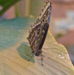 Caligo memnon on a Leaf