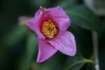 Camellia Pink Flower