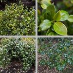 Camellia Trees photographs