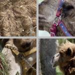 Camels & Dromedaries photographs