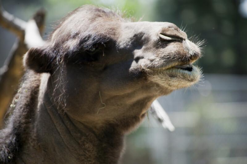 Camel's Muzzle