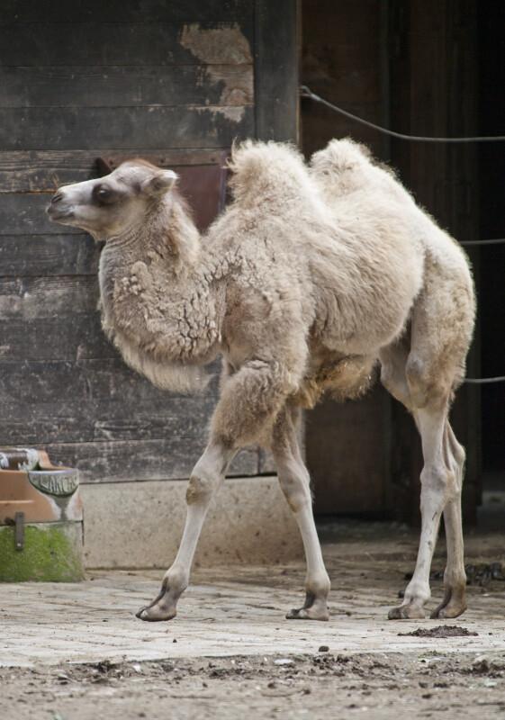 (Camelus ferus bactrianus)
