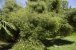 Cameraria latifolia Tree