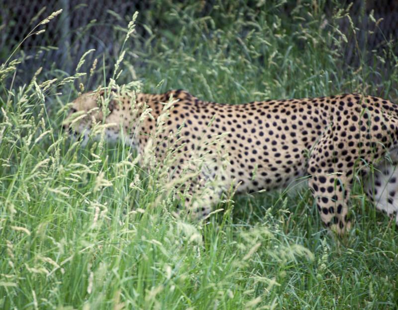 Camouflaged Cheetah