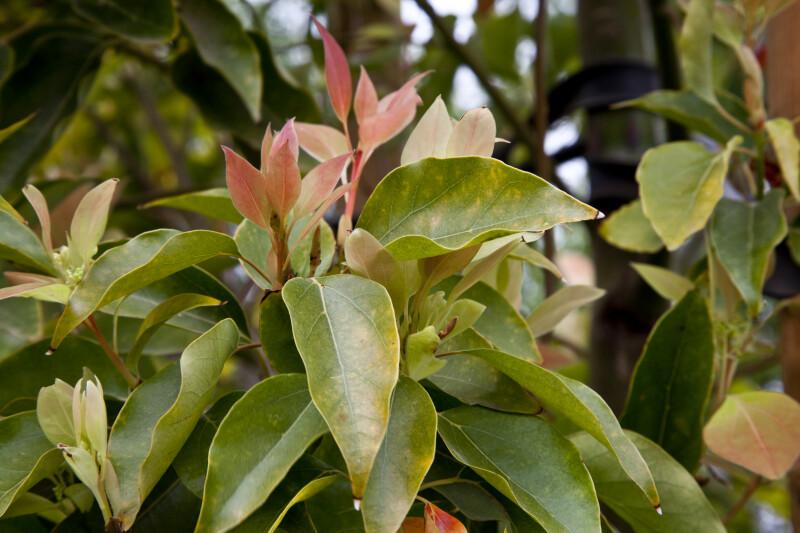Camphor Tree Leaves