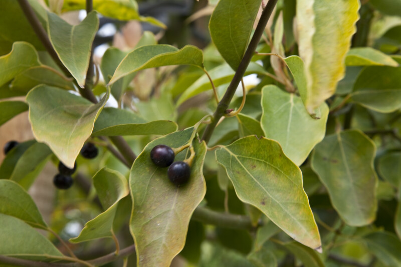 Camphor Tree Stems, Leaves, and Berries