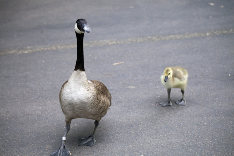 Canadian Goose and Cygnet