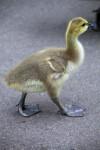 Canadian Goose Cygnet
