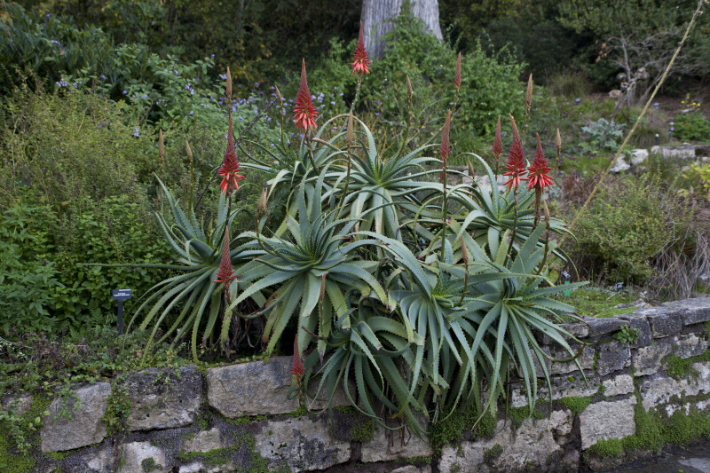 Candelabra Aloe above Stone Wall