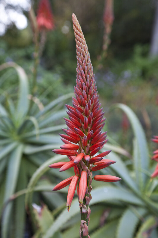 Candelabra Aloe Red Inflorescence