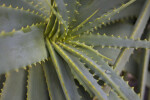 Candelabra Aloe Spiny Leaves