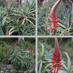 Candelabra Aloe photographs