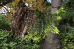Candelabra Tree Triangular Leaves