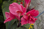 Canna indica Hybrid Flowers
