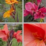 Canna Lilies photographs
