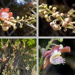 Cannonball Trees photographs