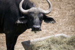 Cape Buffalo Close-Up