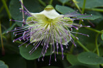 Caper Bush Flower
