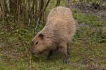 Capybara at San Francisco Zoo