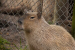 Capybara by Fence