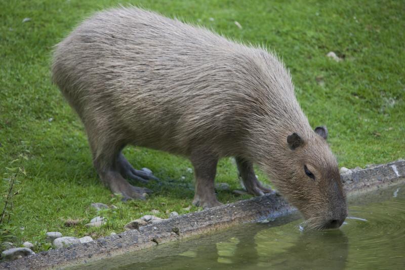 Capybara Drinking
