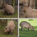 Capybara photographs