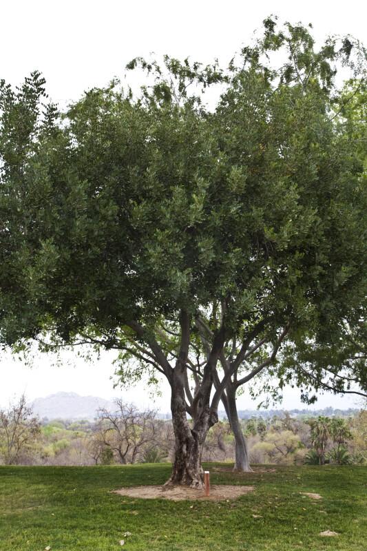 Carob Tree at Martha McLean – Anza Narrows Park