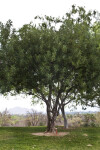 Carob Tree at Martha McLean – Anza Narrows Park
