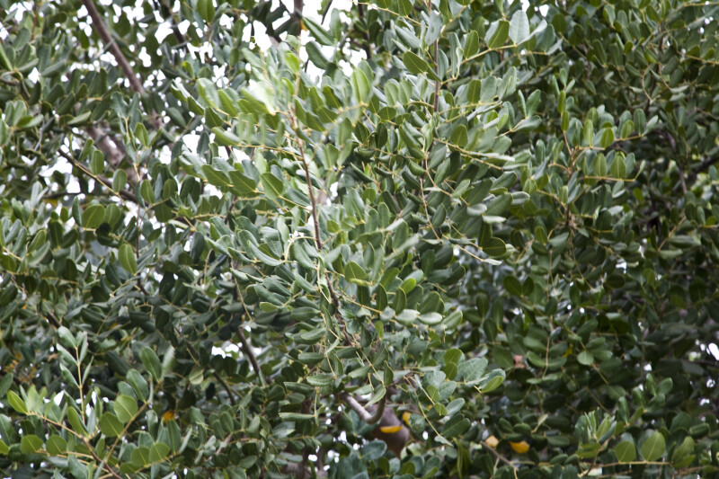 Carob Tree Branches and Leaves