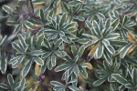 """Carol Mackie"" Burkwood Daphne Leaves"