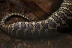 Carpet Python Skin