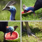 Cassowaries photographs