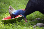 Cassowary Eating