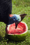 Cassowary Snacking