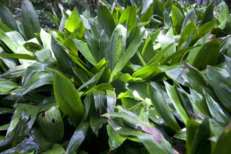 Cast Iron Plant at the Kanapaha Botanical Gardens