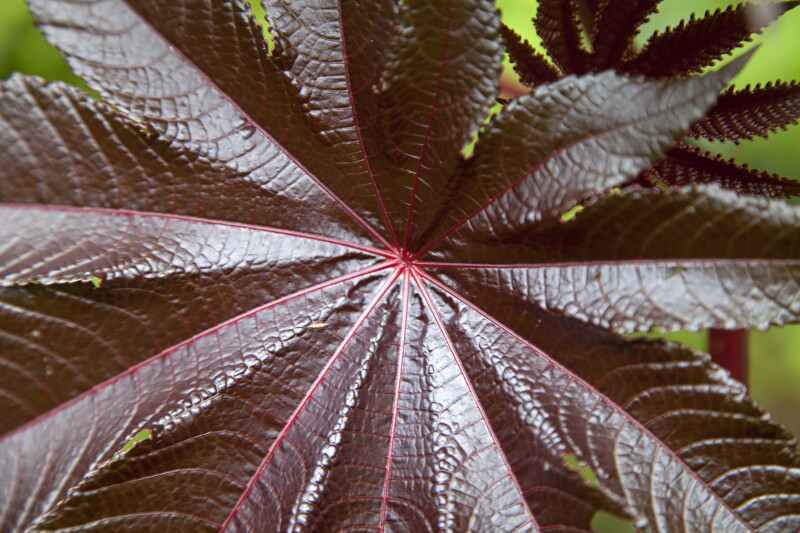Castor Oil Plant Leaf Close-Up
