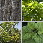 Catalpa Trees photographs