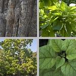 Catalpa Trees photographs