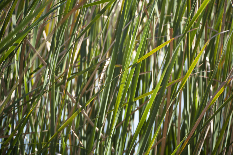 Cattail Leaves and Stalks
