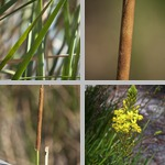 Cattails photographs