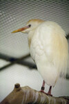 Cattle Egret on Branch