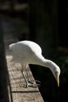 Cattle Egret on Rail