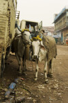 Cattle in the Street