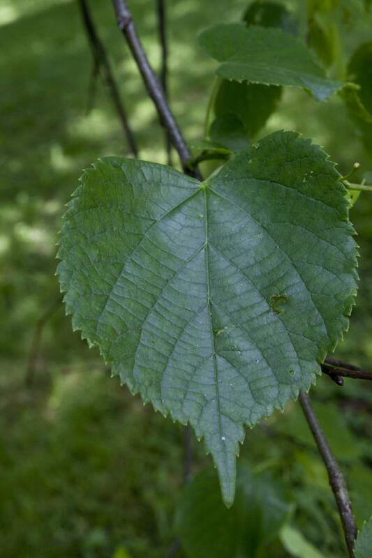 Caucasian Linden Leaf