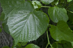 Caucasian Linden Leaves