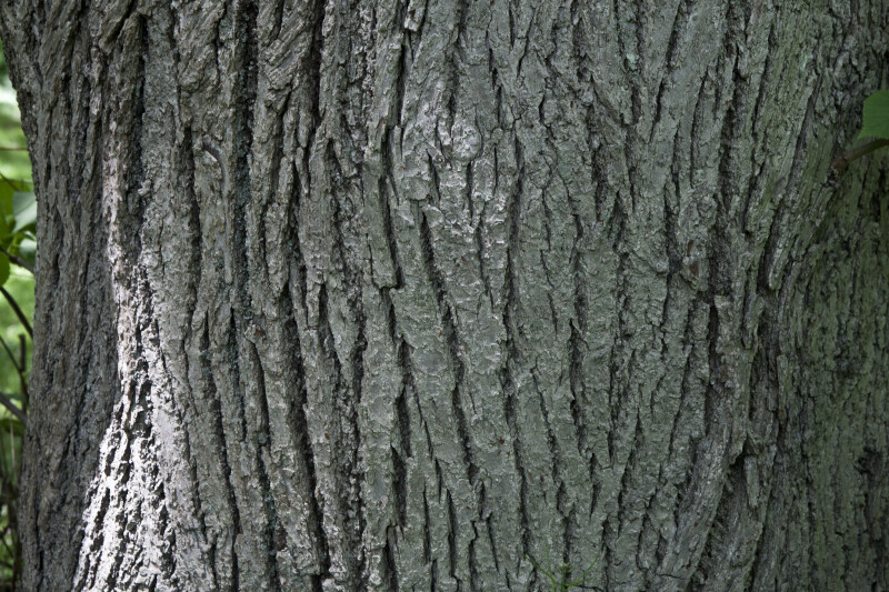 Caucasian Linden Tree Bark